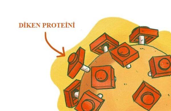 Koronavirüs ve diken proteinleri