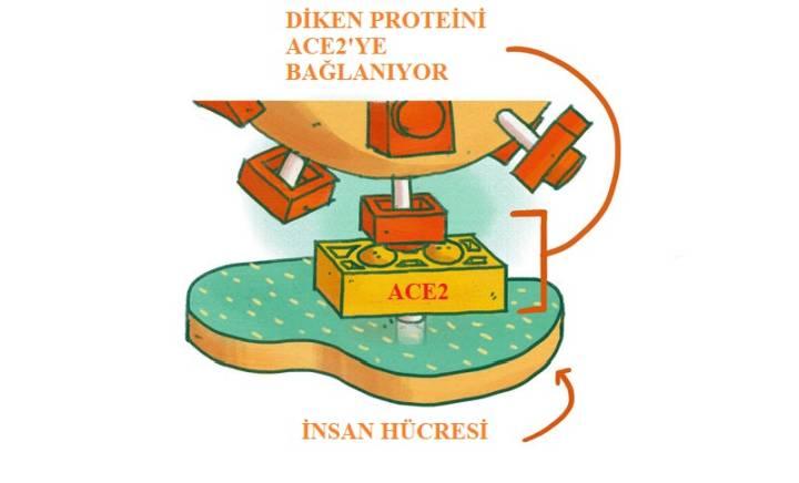 Diken proteini ve ACE2 kapısı