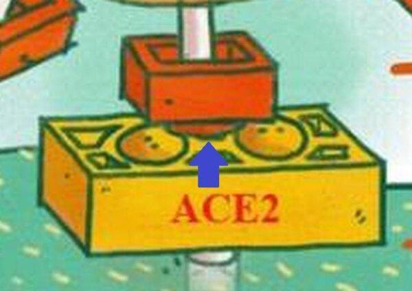 Koronaviirüsün diken proteini,  ACE2 kapısına tam olarak bağlanamasa dahi, kapıyı kandırıp içeri girmeye yetiyor