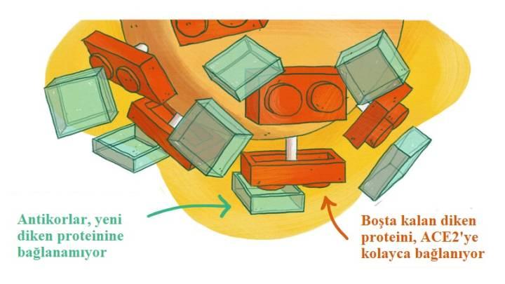 Antikorlar, değişmiş diken proteinlerinin üzerini tam olarak kapatamadığı için virüs, ACE2 kapısına bağlanma fırsatı buluyor