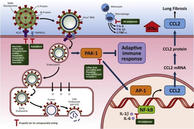 Propolis ve ACE-2 reseptörü