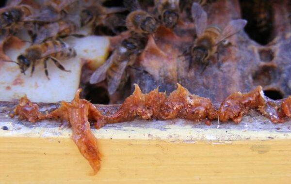 Arılar, Propolis ile kovan kapısını daraltır